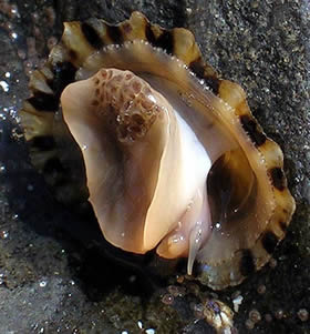 Moluste monoplacofore, Foto: sermolusco.blogspot.ro