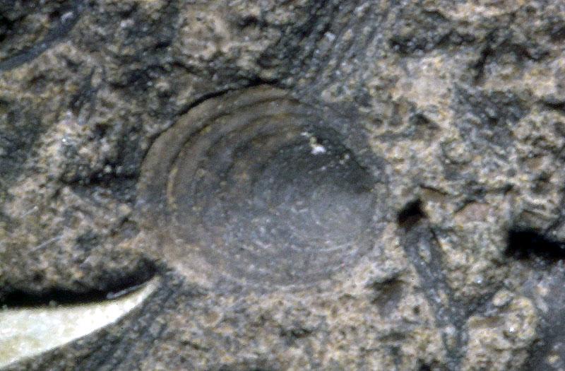 Monoplacophora, Foto: mcz.harvard.edu