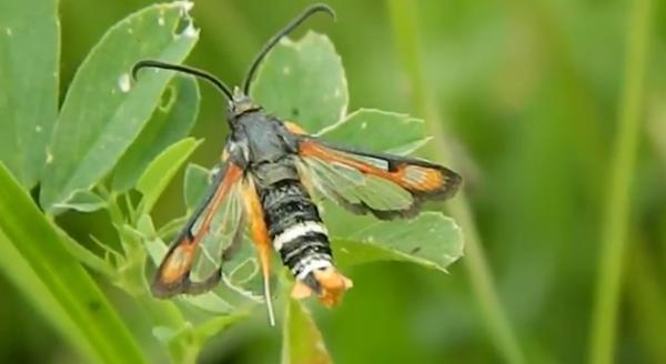 Pyropteron chrysidiformis din familia Sasiidae