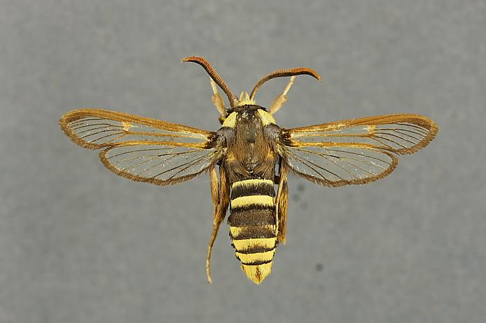 Sesia apiformis, Foto: sunnyscope.com