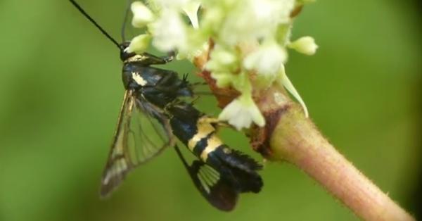 Synanthedon hector, familia Sesiidae
