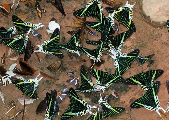 Urania leilus, Foto: learnaboutbutterflies.com