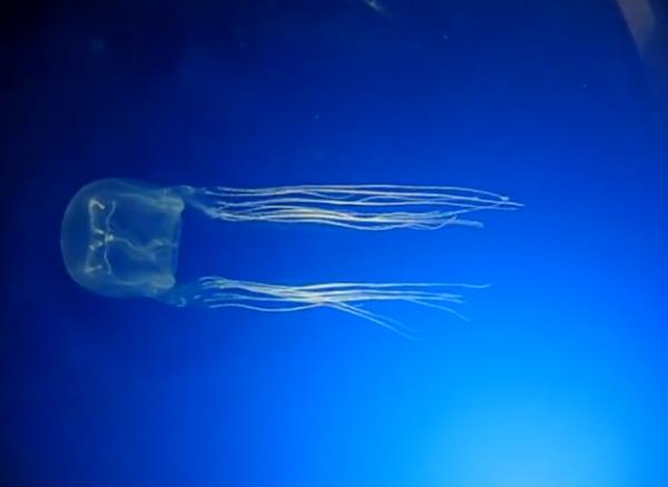 Viespea de mare - Specia Chironex fleckeri