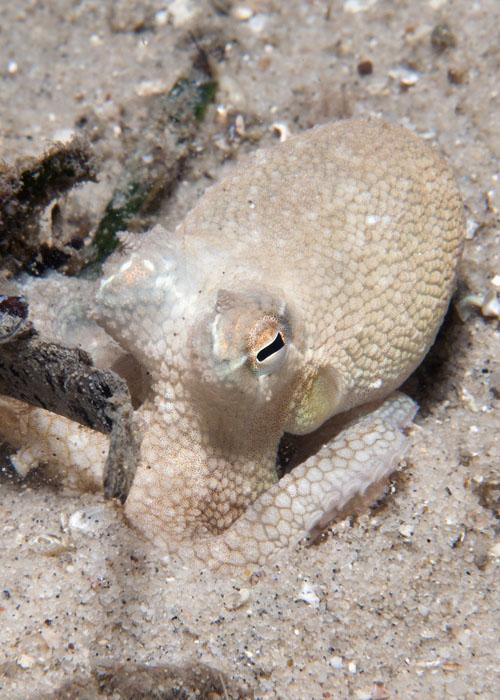 Amphioctopus kagoshimensis, Foto: daveharasti.com