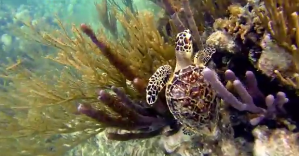 Broasca țestoasă de baga în mediul ei natural