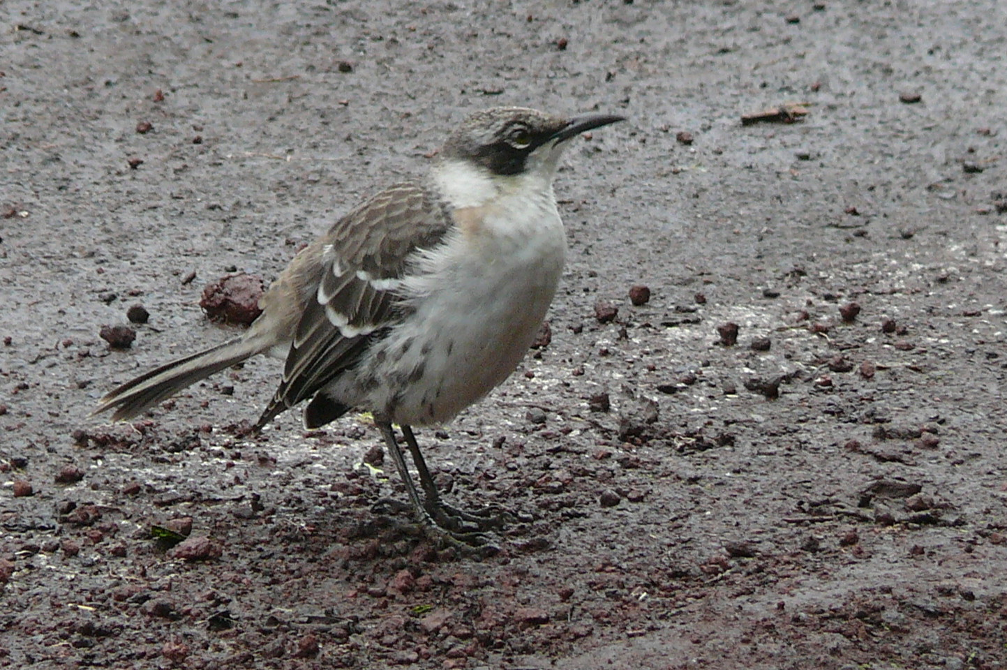 Nesomimus parvulus, Foto: datuopinion.com