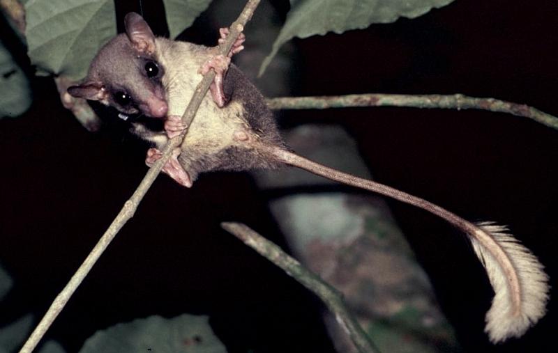 Ptilocercus lowii, Foto: wired.com