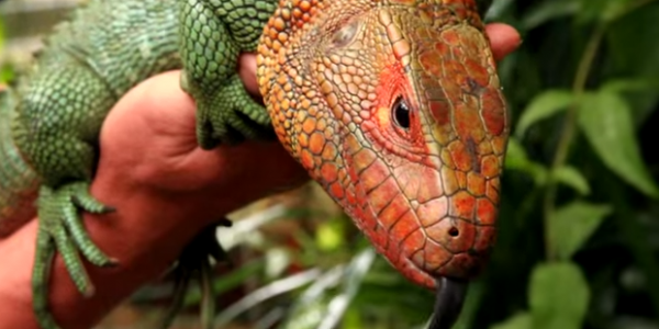 Capul șopârlei