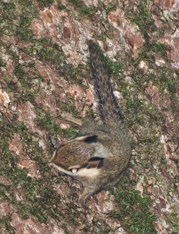 Veverița cu urechi negre, Foto: ronorenstein.blogspot.ro