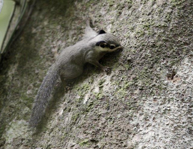Nannosciurus melanotis, Foto: inaturalist.org