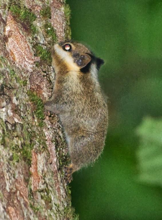 Veverița cu urechi negre, specia Nannosciurus melanotis, Foto: ronorenstein.blogspot.ro
