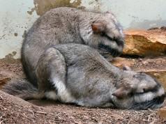 Lagostomus maximus, Foto: wszystkooszynszylach.blogspot.com