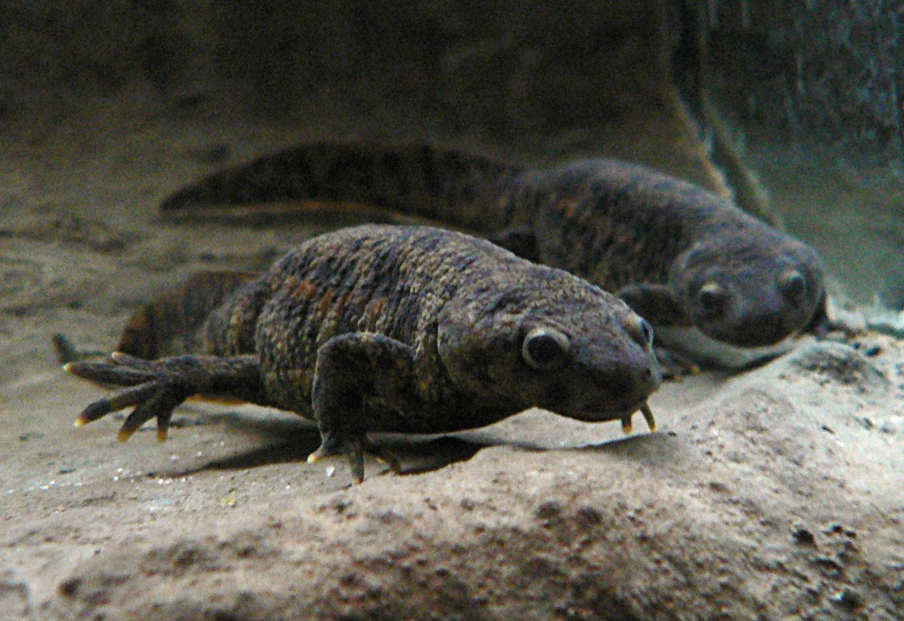 Pleurodeles waltl, Foto: zooholding.eu