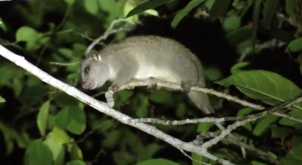 Specii de mamifere marsupiale - Vangalul