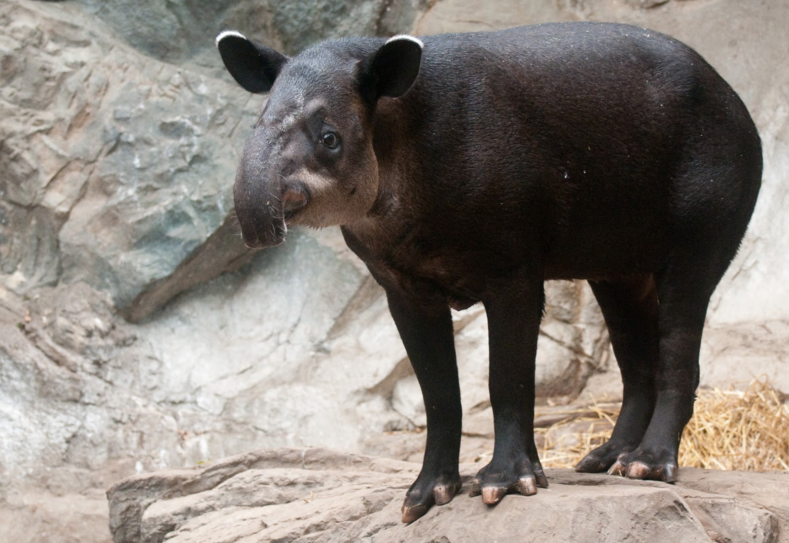 Tapirus bairdii, Foto: download-animals-photos.blogspot.com