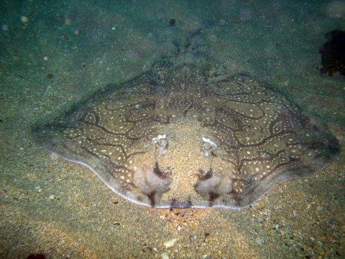 Vulpea de mare ondulată, Foto: asturnatura.com