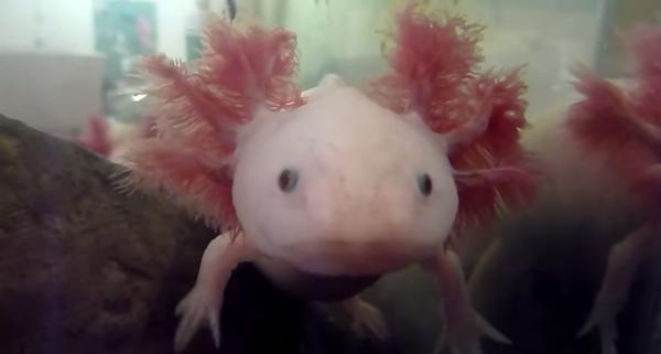 Axolotl (Ambystoma mexicanum), amfibian acvatic din Mexic