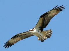 Pandion haliaetus, Foto: takesix.ca