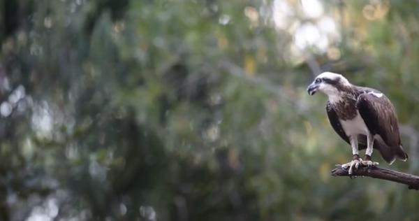 Vulturul-pescar (Pandion heliaetus)