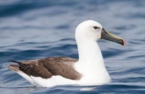 Albatros, Foto: watervogelbond.nl