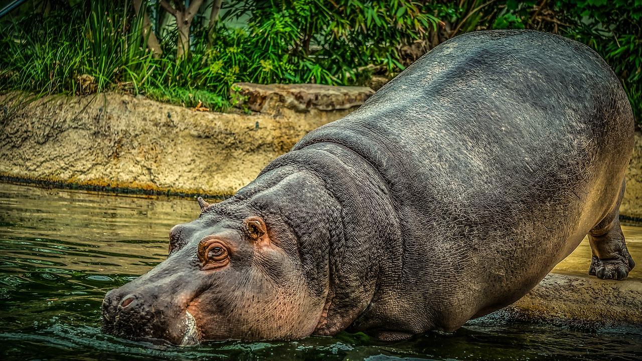 Hipopotam11