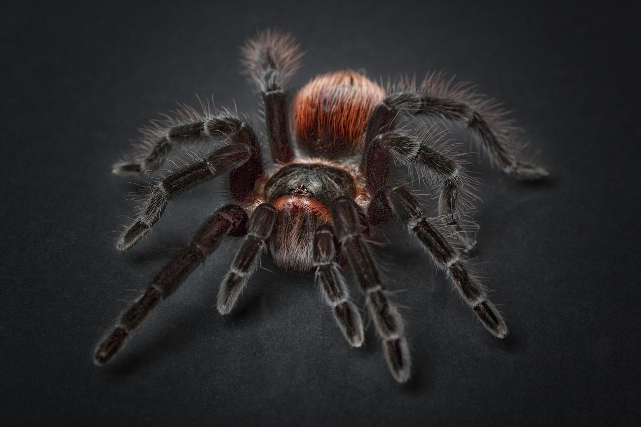 Tarantulele1