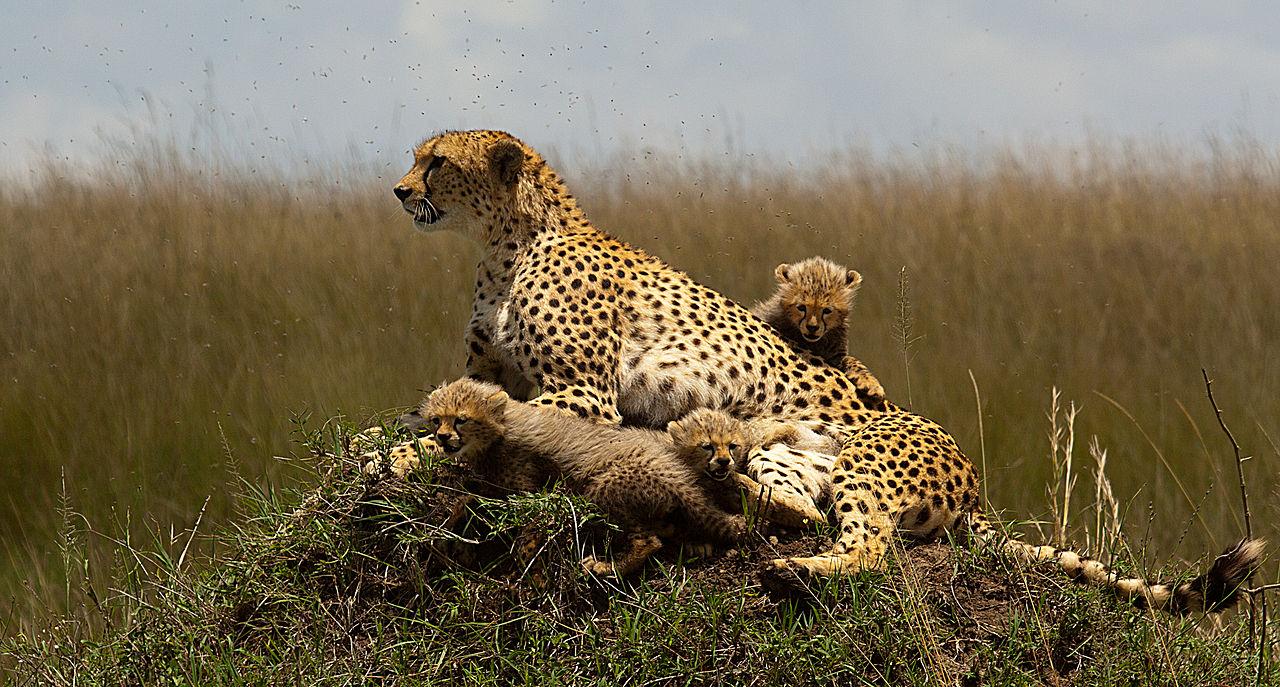 Rezervatia Nationala Masai Mara111