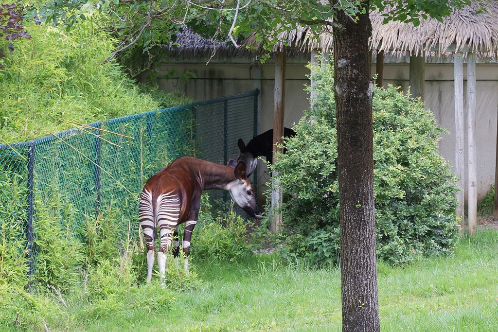 Rezervatia Okapi11