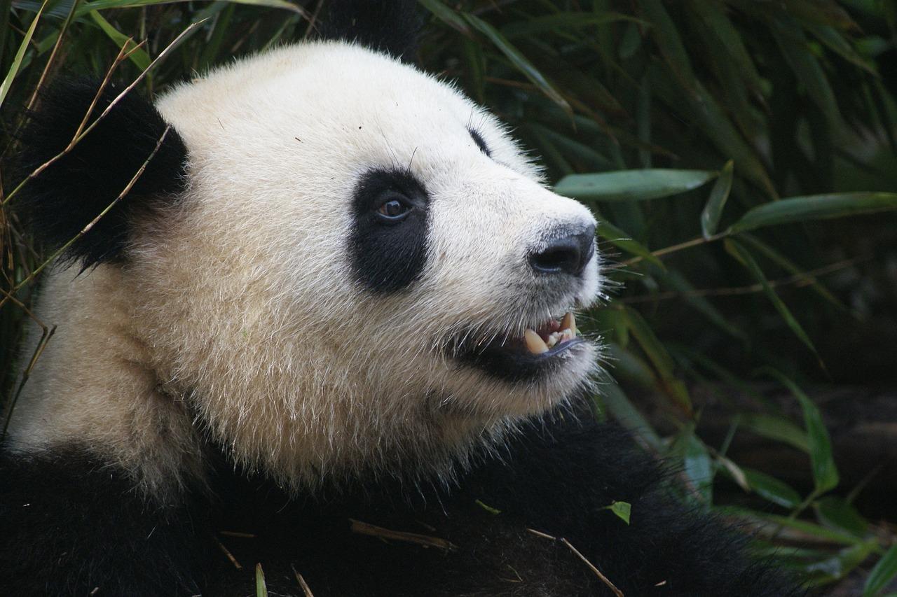 Ursi Panda Sichuan