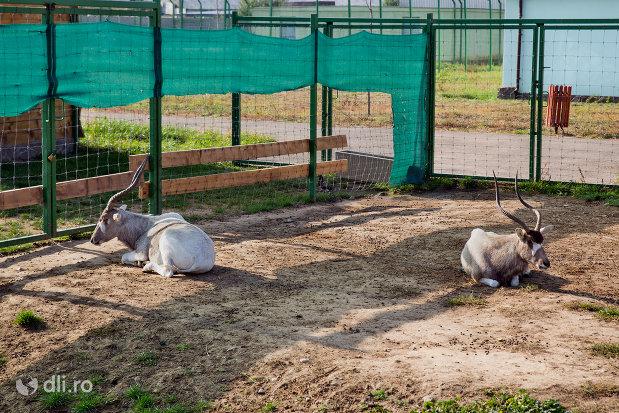 antilopa-gradina-zoologica-din-oradea-judetul-bihor.jpg