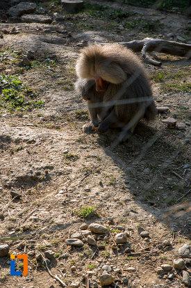 babuin-de-la-gradina-zoologica-din-sibiu-judetul-sibiu.jpg