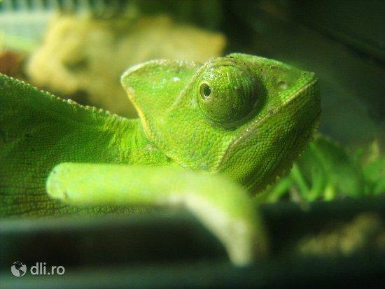 cameleonul-fotogenic-zoo-targoviste.jpg