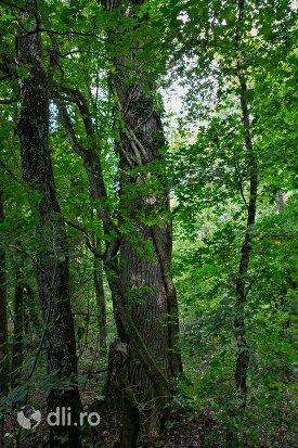 copac-batran-din-padurea-noroieni-judetul-satu-mare.jpg