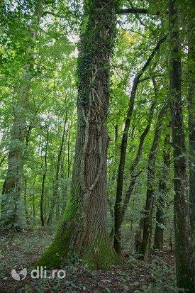 copac-centenar-din-padurea-noroieni-judetul-satu-mare.jpg