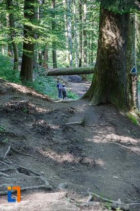 copac-secular-de-pe-traseul-spre-cascada-urlatoarea-din-busteni-judetul-prahova.jpg