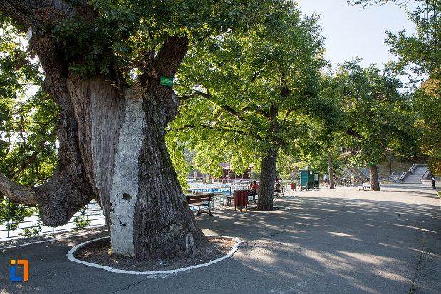 copac-secular-din-gradina-zoologica-din-sibiu-judetul-sibiu.jpg