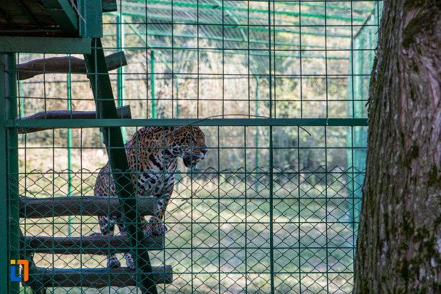 cusca-cu-leopard-gradina-zoologica-din-sibiu-judetul-sibiu.jpg