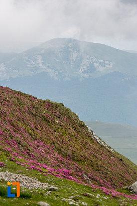 flori-de-munte-telecabina-din-sinaia-judetul-prahova.jpg