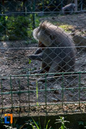 fotografie-cu-babuin-gradina-zoologica-din-sibiu-judetul-sibiu.jpg