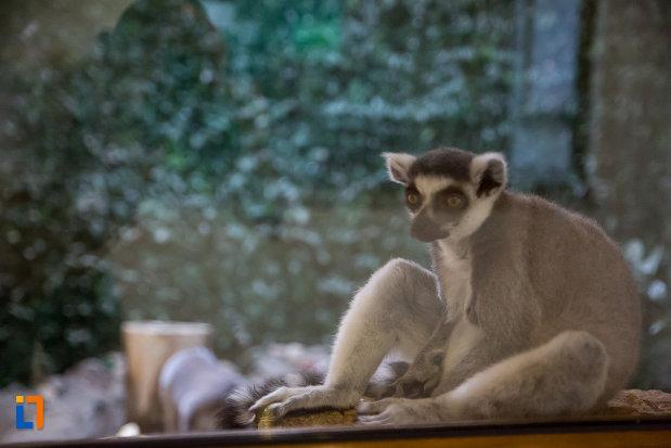 fotografie-cu-lemur-gradina-zoologica-din-sibiu-judetul-sibiu.jpg