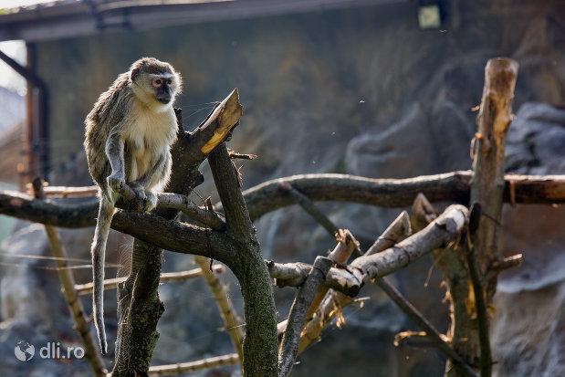 gradina-zoologica-din-oradea-judetul-bihor-maimuta-pe-creanga.jpg