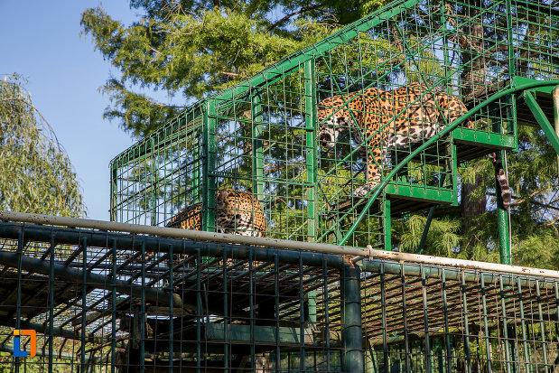 gradina-zoologica-din-sibiu-judetul-sibiu-o-pereche-de-tirgri.jpg