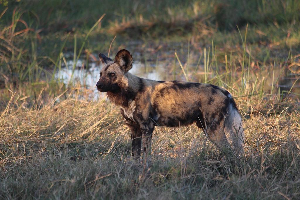 hiene Botswana
