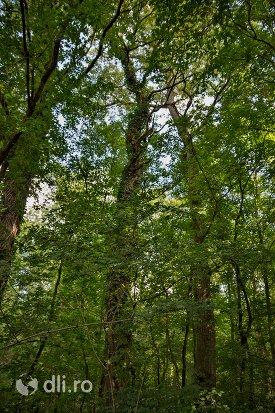 imagine-cu-copaci-din-padurea-noroieni-judetul-satu-mare.jpg