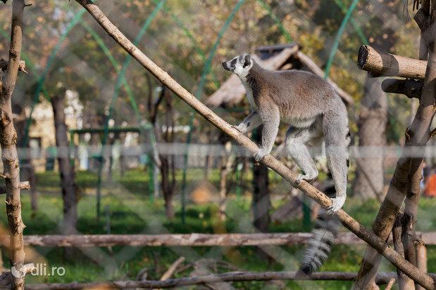 imagine-cu-maimuta-din-gradina-zoologica-din-oradea-judetul-bihor.jpg