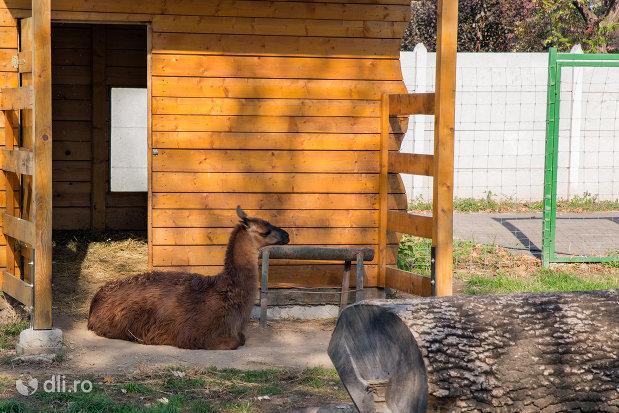 lama-din-gradina-zoologica-din-oradea-judetul-bihor.jpg
