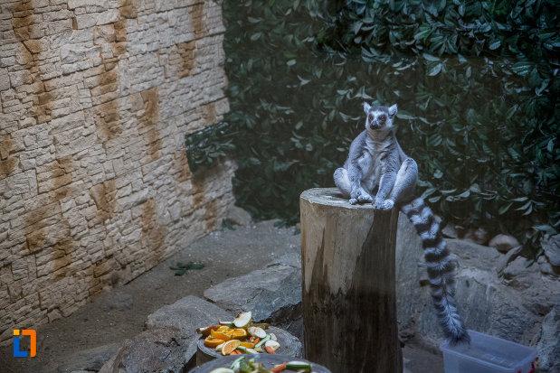 lemur-de-la-gradina-zoologica-din-sibiu-judetul-sibiu.jpg