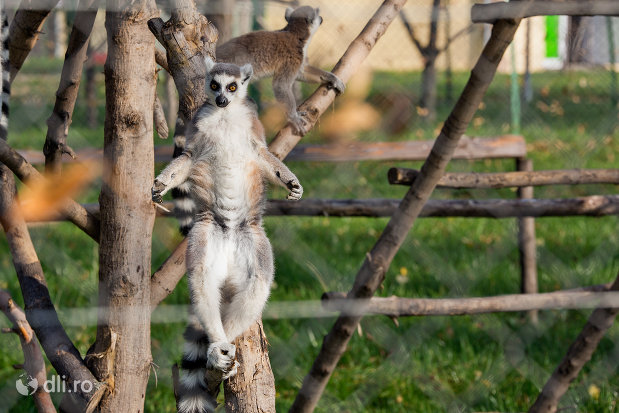 lemur-pe-creanga-gradina-zoologica-din-oradea-judetul-bihor.jpg