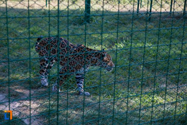 leoprad-din-gradina-zoologica-din-sibiu-judetul-sibiu.jpg