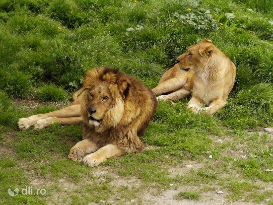leul-si-leoaica-gradina-zoologica-din-targoviste-2.jpg